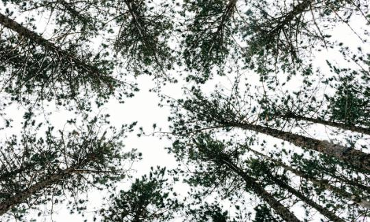 view of treetops from the ground up